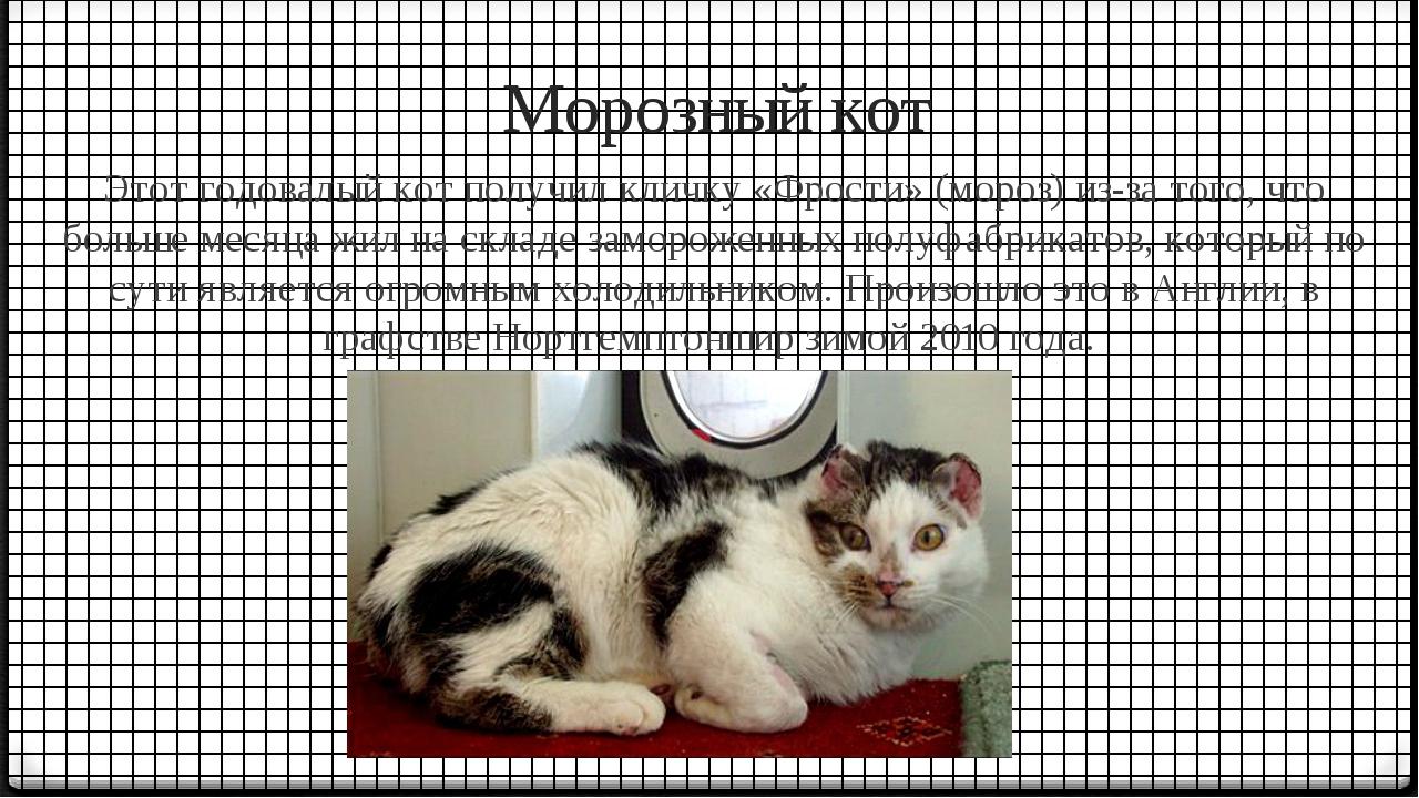 Морозный кот Этот годовалый кот получил кличку «Фрости» (мороз) из-за того,...
