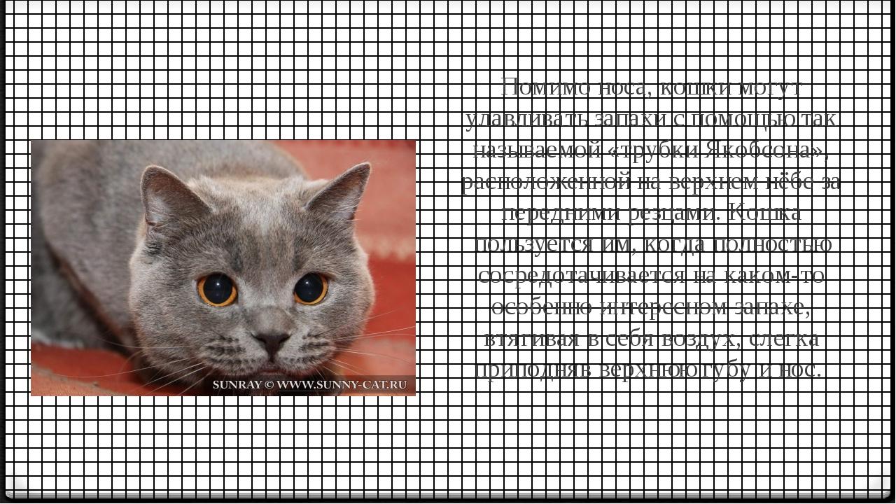 Помимо носа, кошки могут улавливать запахи с помощью так называемой «трубки...