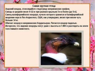 Самая крупная птица Андский кондор, относящийся к подотряду американских гри