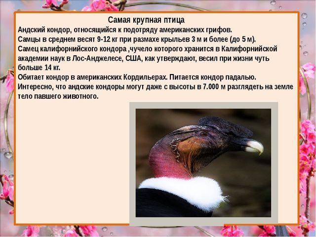 Самая крупная птица Андский кондор, относящийся к подотряду американских гри...