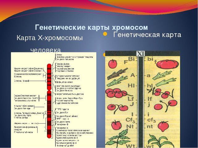 Генетические карты хромосом Генетическая карта хромосомы томата Карта X-хром...