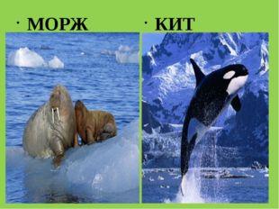 МОРЖ КИТ