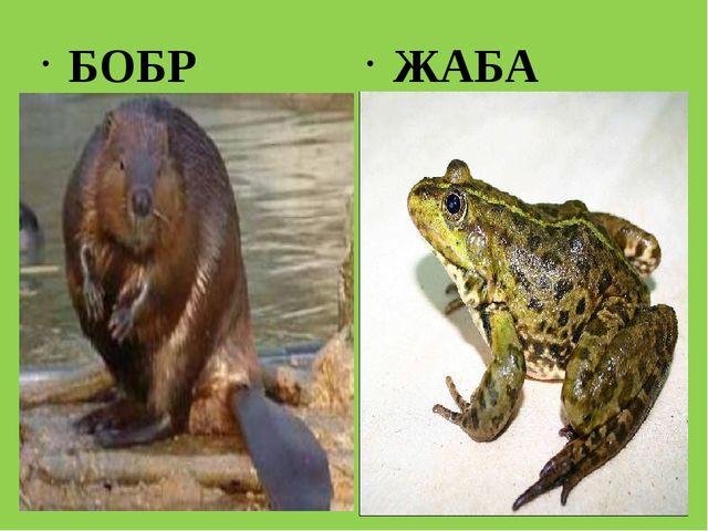 БОБР ЖАБА