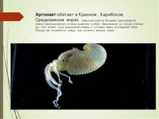 Аргонавт-обитает в Красном , Карибском, Средиземном морях. Самки аргонавтов о