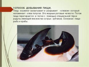 7.СПОСОБ ДОБЫВАНИЯ ПИЩИ, Пищу осьминог захватывает и разрывает «клювом» котор