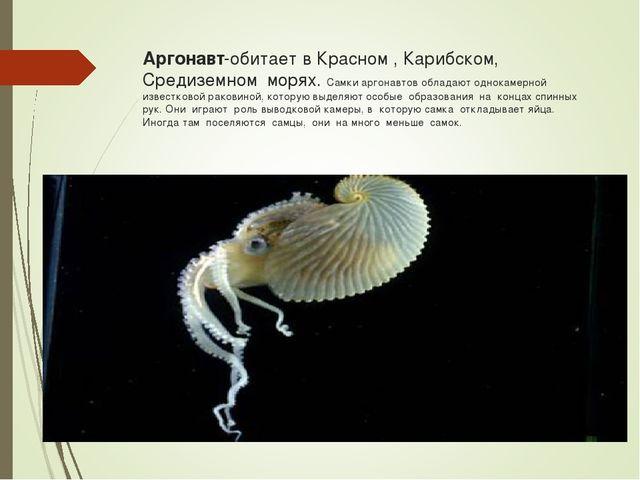 Аргонавт-обитает в Красном , Карибском, Средиземном морях. Самки аргонавтов о...