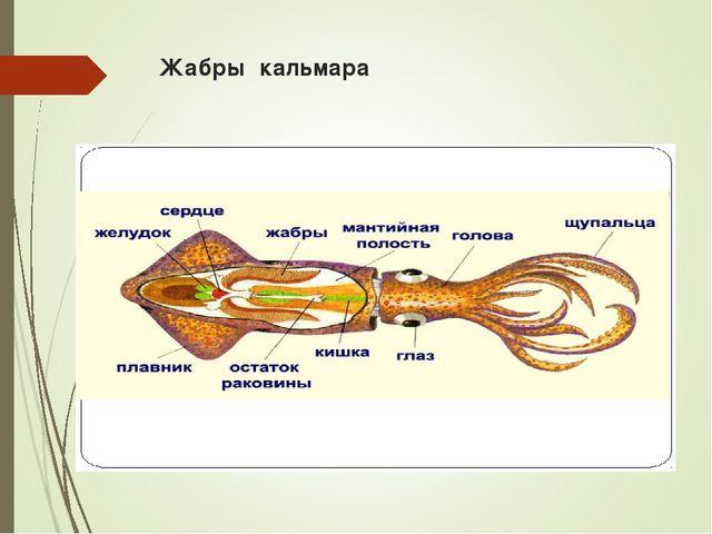 Жабры кальмара