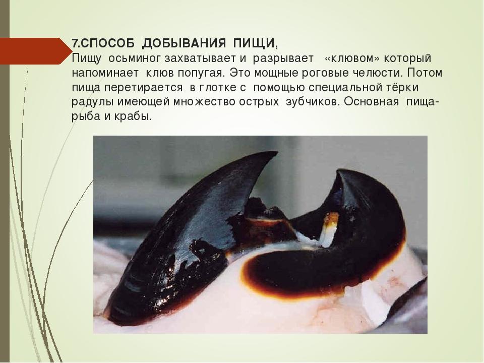 7.СПОСОБ ДОБЫВАНИЯ ПИЩИ, Пищу осьминог захватывает и разрывает «клювом» котор...