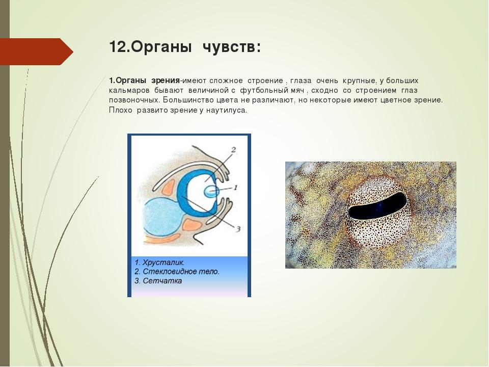 12.Органы чувств: 1.Органы зрения-имеют сложное строение , глаза очень крупны...