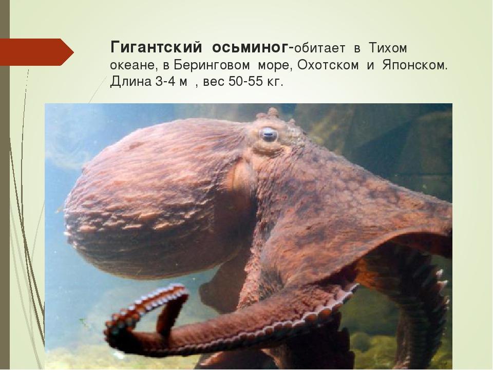 Гигантский осьминог-обитает в Тихом океане, в Беринговом море, Охотском и Япо...