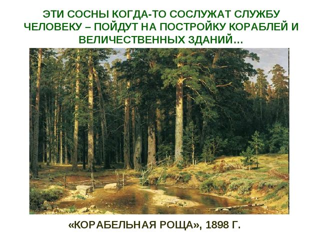 «КОРАБЕЛЬНАЯ РОЩА», 1898 Г. ЭТИ СОСНЫ КОГДА-ТО СОСЛУЖАТ СЛУЖБУ ЧЕЛОВЕКУ – ПОЙ...