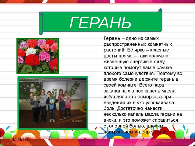 Герань – одно из самых распространенных комнатных растений. Её ярко – красны...
