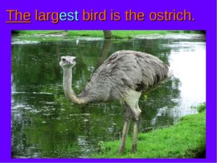 The largest bird is the ostrich.