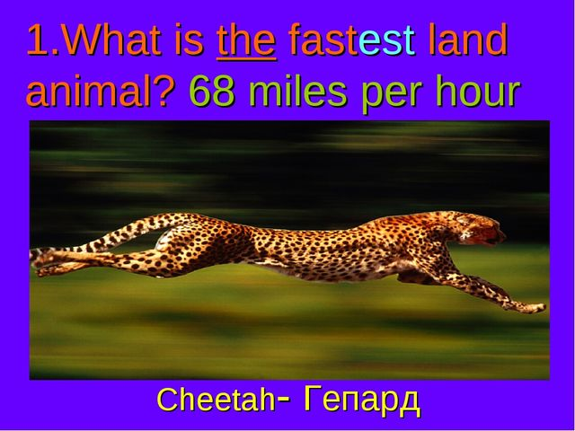 What is the fastest land animal? 68 miles per hour Cheetah- Гепард