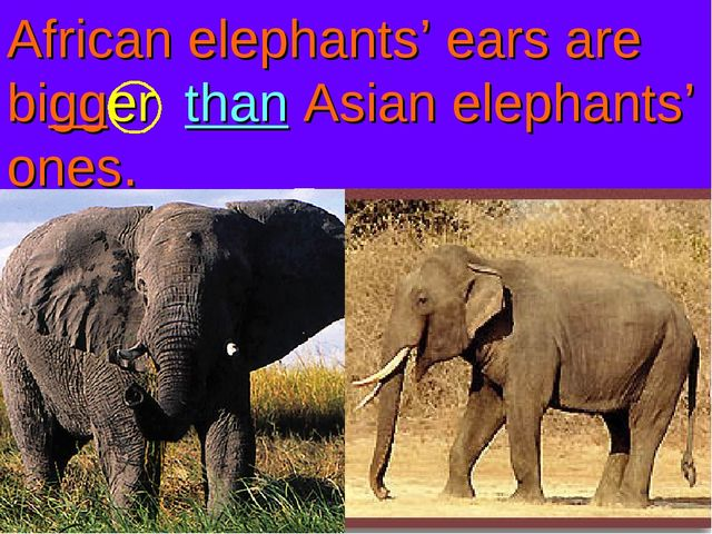 African elephants' ears are bigger than Asian elephants' ones.