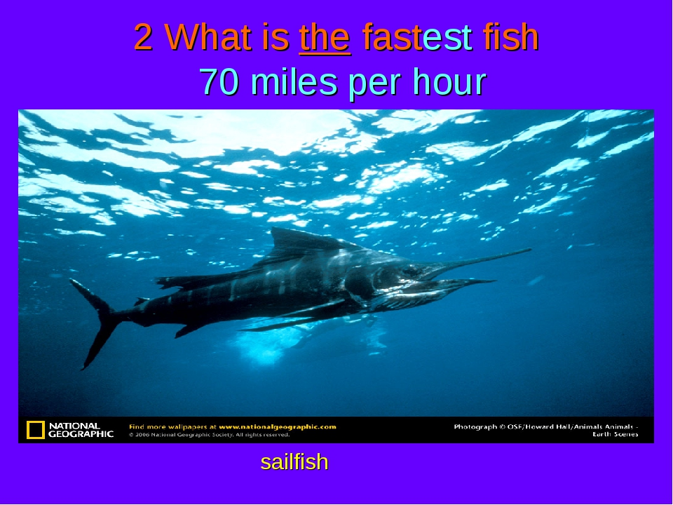 2 What is the fastest fish 70 miles per hour sailfish