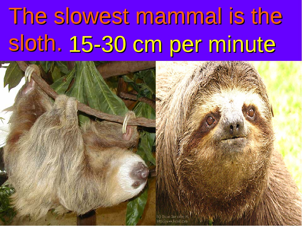 The slowest mammal is the sloth. 15-30 cm per minute