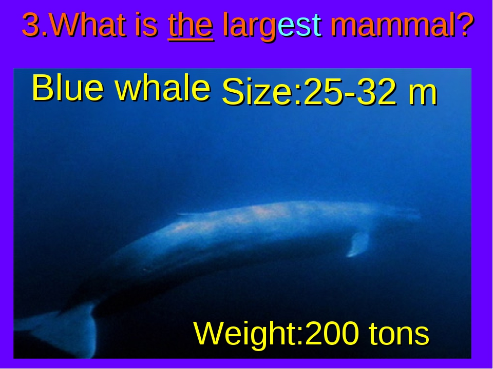 3.What is the largest mammal? Blue whale Weight:200 tons Size:25-32 m