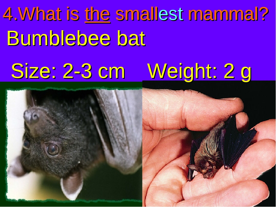 4.What is the smallest mammal? Bumblebee bat Size: 2-3 cm Weight: 2 g