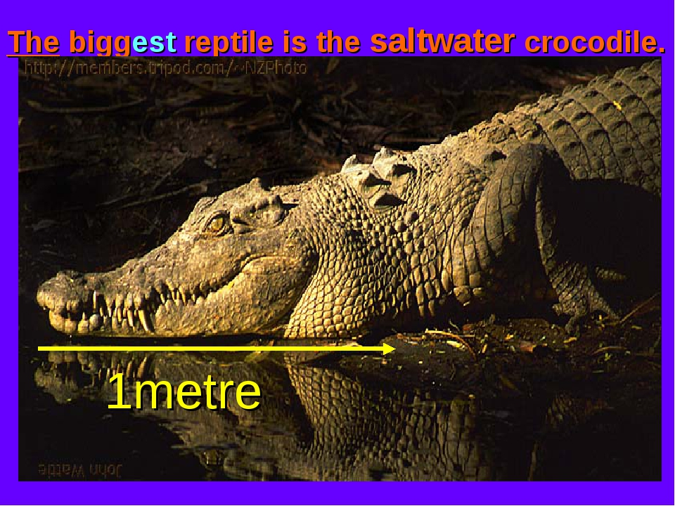 The biggest reptile is the saltwater crocodile. 1metre