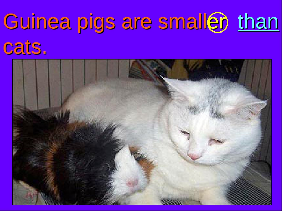 Guinea pigs are smaller than cats.