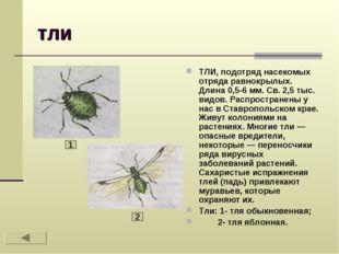 тли ТЛИ, подотряд насекомых отряда равнокрылых. Длина 0,5-6 мм. Св. 2,5 тыс.
