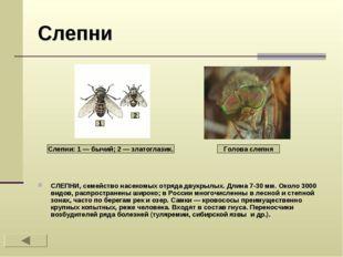 Слепни СЛЕПНИ, семейство насекомых отряда двукрылых. Длина 7-30 мм. Около 300