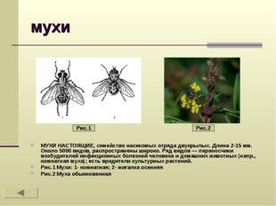 мухи МУХИ НАСТОЯЩИЕ, семейство насекомых отряда двукрылых. Длина 2-15 мм. Око