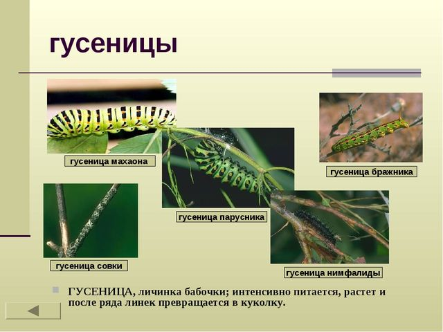 гусеницы ГУСЕНИЦА, личинка бабочки; интенсивно питается, растет и после ряда...