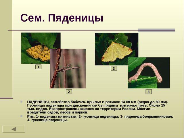 Сем. Пяденицы ПЯДЕНИЦЫ, семейство бабочек. Крылья в размахе 13-50 мм (редко д...