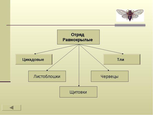 Отряд Равнокрылые Цикадовые Тли Листоблошки Щитовки Червецы