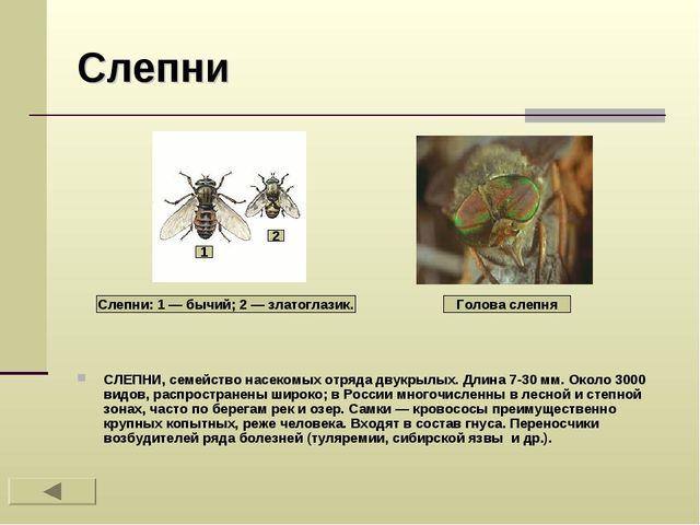 Слепни СЛЕПНИ, семейство насекомых отряда двукрылых. Длина 7-30 мм. Около 300...