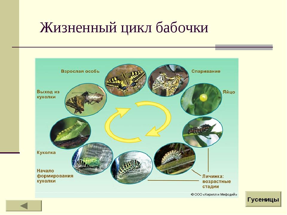 Жизненный цикл бабочки Гусеницы