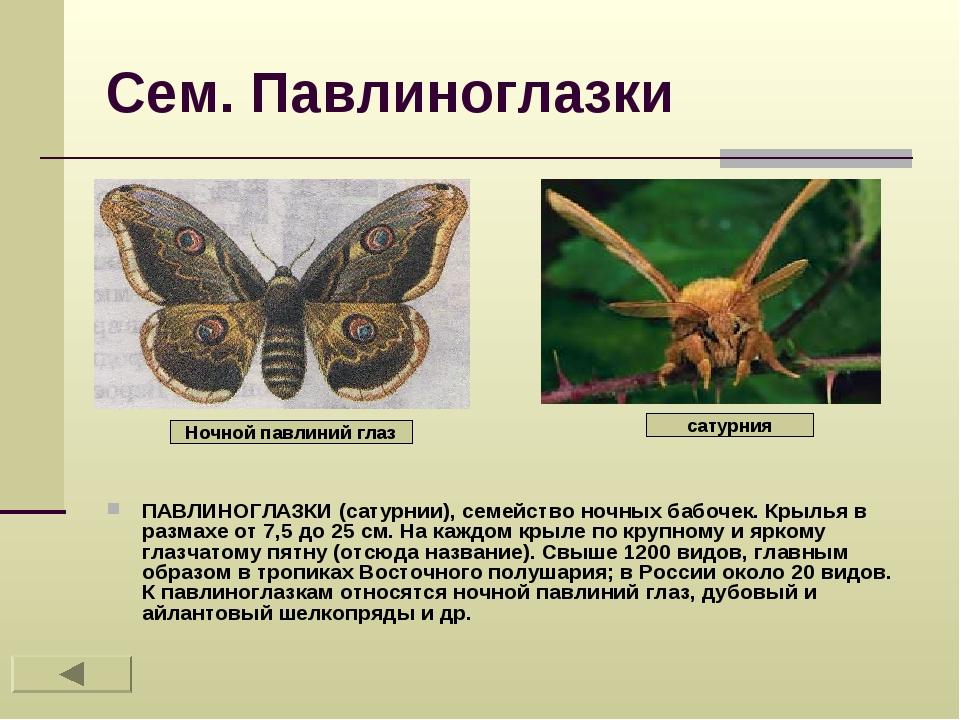 Сем. Павлиноглазки ПАВЛИНОГЛАЗКИ (сатурнии), семейство ночных бабочек. Крылья...