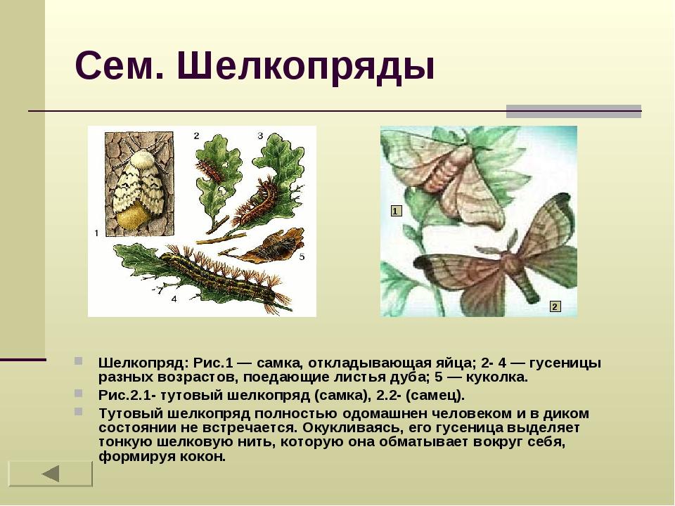 Сем. Шелкопряды Шелкопряд: Рис.1 — самка, откладывающая яйца; 2- 4 — гусеницы...
