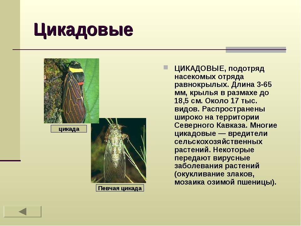 Цикадовые ЦИКАДОВЫЕ, подотряд насекомых отряда равнокрылых. Длина 3-65 мм, кр...
