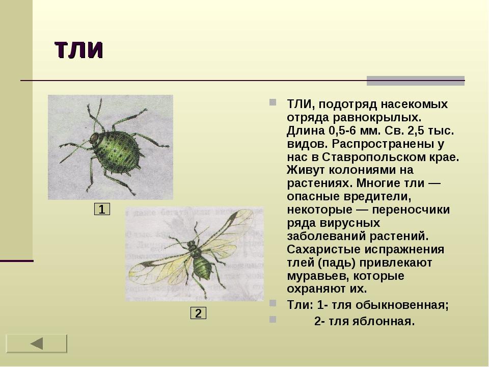 тли ТЛИ, подотряд насекомых отряда равнокрылых. Длина 0,5-6 мм. Св. 2,5 тыс....