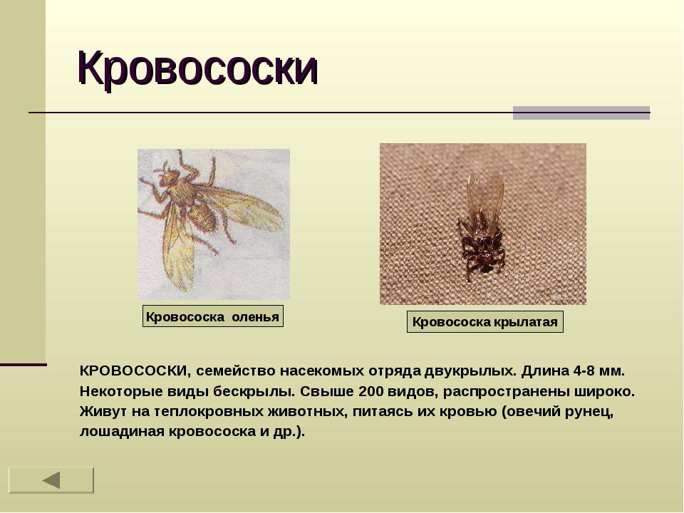 Кровососки КРОВОСОСКИ, семейство насекомых отряда двукрылых. Длина 4-8 мм. Не...