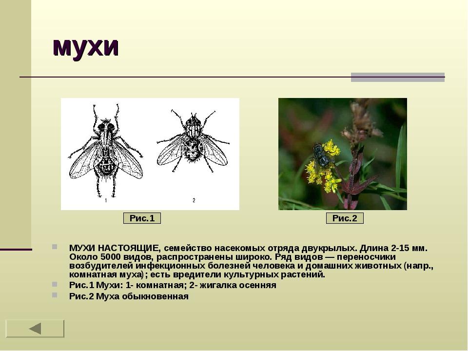 мухи МУХИ НАСТОЯЩИЕ, семейство насекомых отряда двукрылых. Длина 2-15 мм. Око...