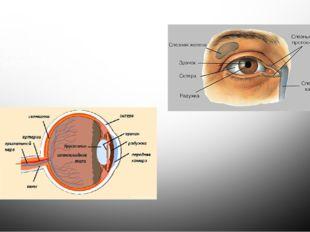 Глаза – орган зрения. Зрение - это способность воспринимать величину, форму,