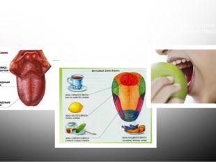 Язык – орган вкуса. Язык помогает человеку различать вкус еды. Как беречь орг