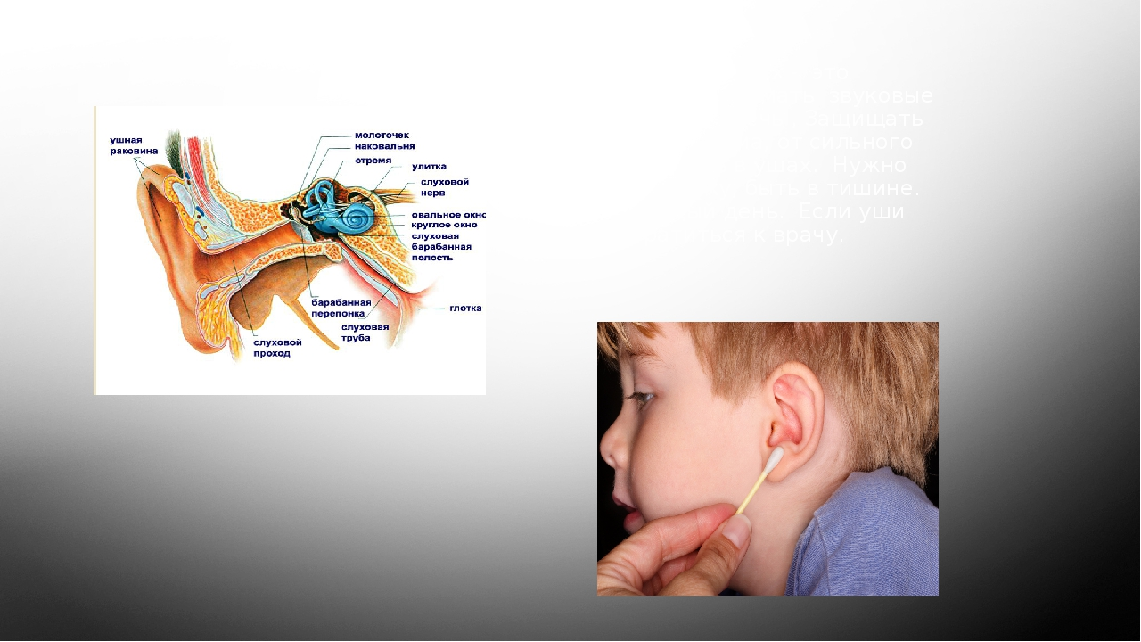 Уши – орган слуха. Слух - это способность воспринимать звуковые волны. Уши на...
