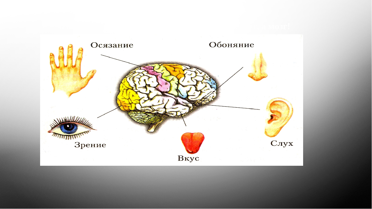 «Не глаз видит, не ухо слышит, не нос ощущает, а мозг!