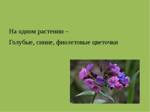 На одном растении – Голубые, синие, фиолетовые цветочки