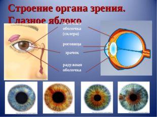 Строение органа зрения. Глазное яблоко белочная оболочка (склера) роговица зр