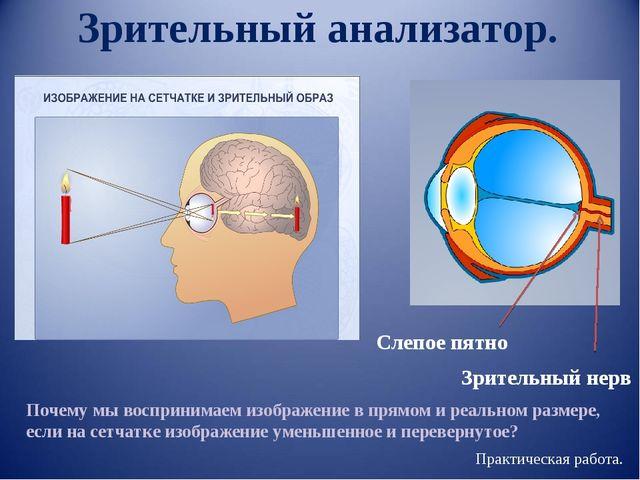 Зрительный анализатор. Зрительный нерв Слепое пятно Почему мы воспринимаем из...