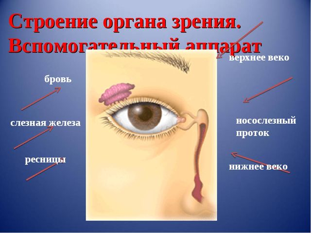 Строение органа зрения. Вспомогательный аппарат бровь слезная железа ресницы...