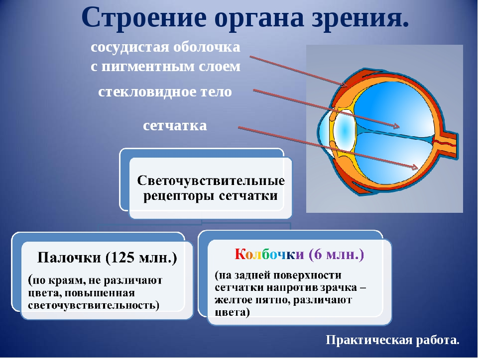 Строение органа зрения. стекловидное тело сосудистая оболочка с пигментным сл...