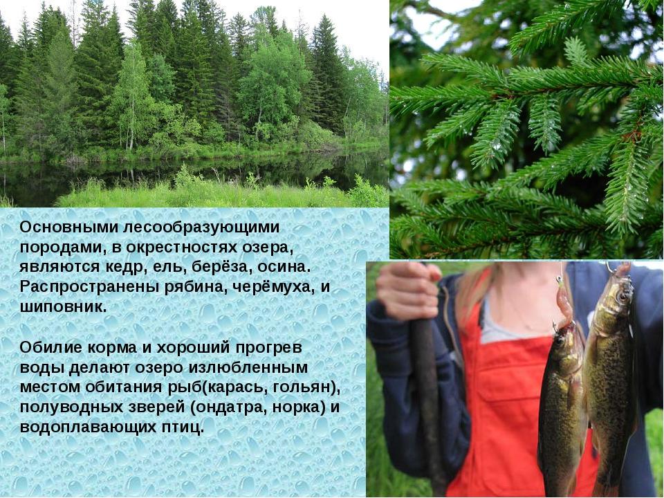 Обилие корма и хороший прогрев воды делают озеро излюбленным местом обитания...