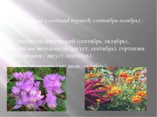 3. Цветущие в осенний период( сентябрь-ноябрь) : гамамелис виргинский (сентяб